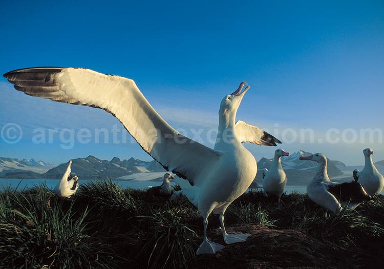 Albatros - Crédit Rinie Van Meurs