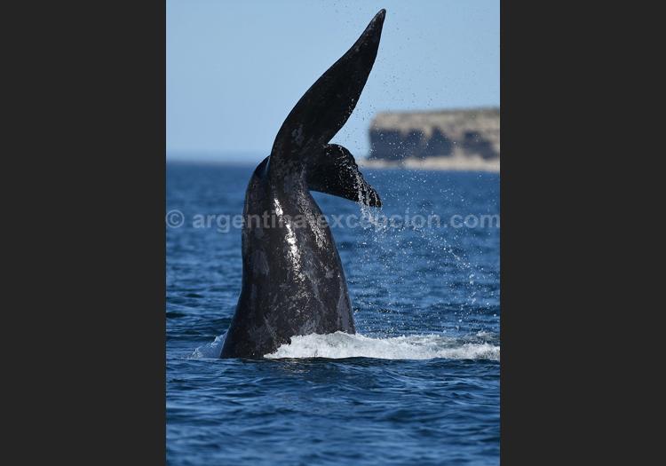 Une baleine en Patagonie