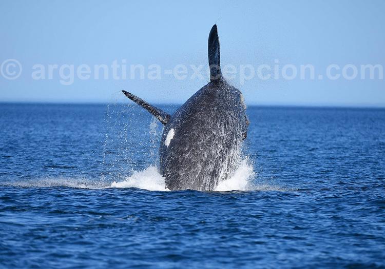 Baleine en Argentine