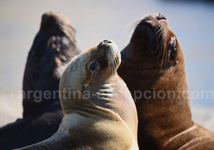 Les lions de mer, Patagonie