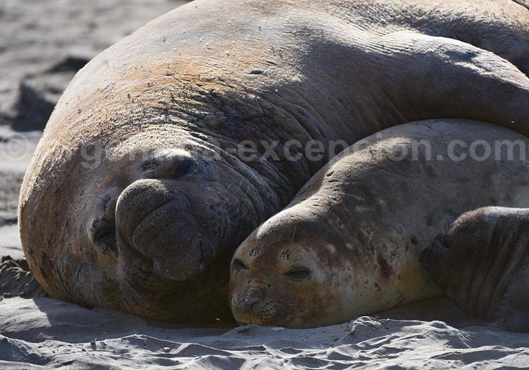 Eléphants de mer, Patagonie