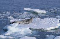 Phoque léopard, Mer de Weddell, Antarctique © Alex Benwell