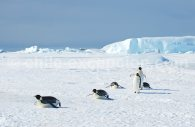 Manchots empereurs, péninsule Antarctique @ Lynn Woodworth