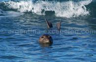 Une femelle éléphant de mer