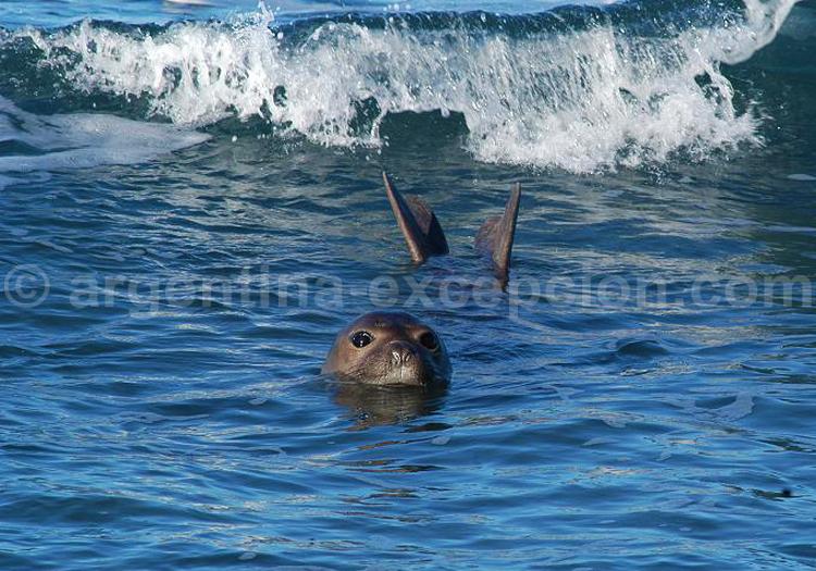 Femelle éléphant de mer, El Pedral