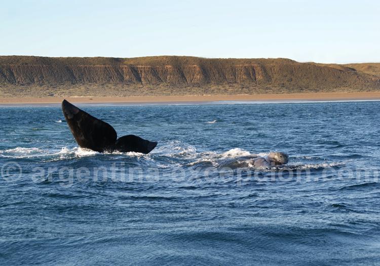 Baleine franche australe observée depuis un bateau de El Pedral