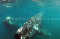 Une baleine frôle la vitre du Yellow Submarine