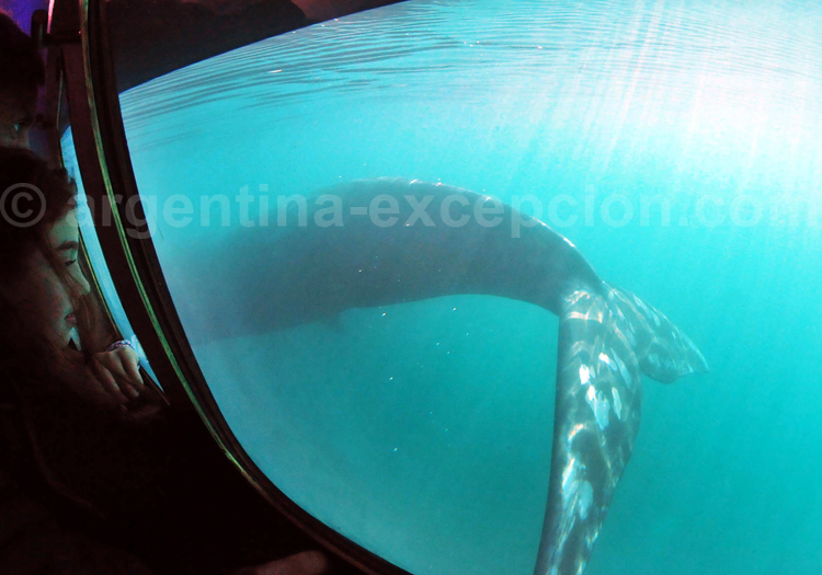 Une baleine observée du Yellow Submarine