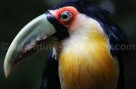 Toucan, Faune Iguazu