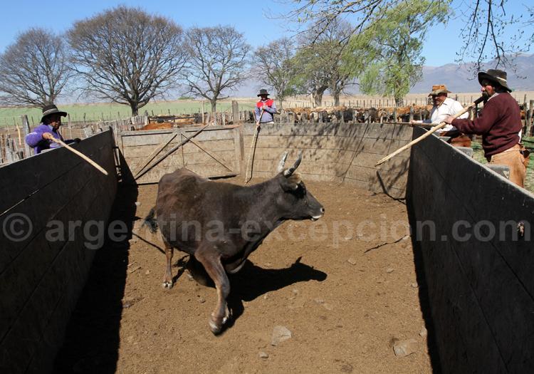 Marquage des bêtes, région de Salta