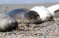 Elephant seal, Valdés