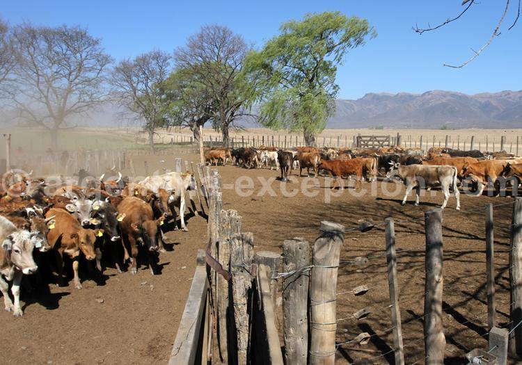Troupeaux de boeufs, Argentine