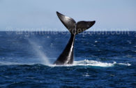 Whale, Puerto Piramides