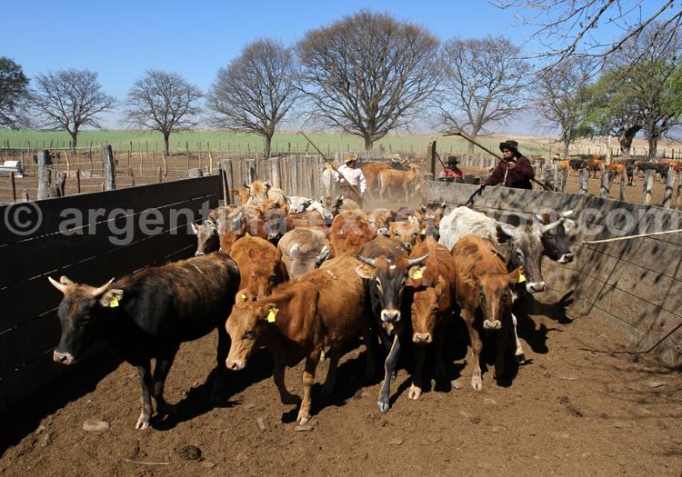 Elevage du bétail, Salta