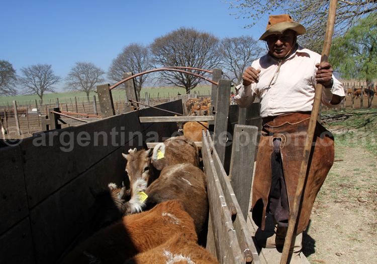 Comptage des bêtes, Estancia Pampa Grande