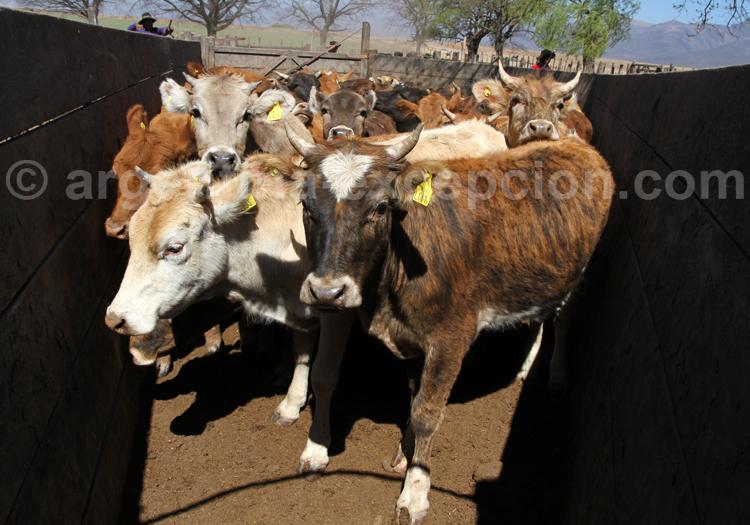 Elevage des boeufs selon la tradition, Salta, Argentine