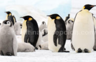 Pinguino Emperado – CC James Cresswell