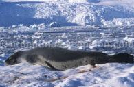 Léopard des mers, Antarctique