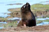 Lion de mer, Péninsule Valdés, Patagonie