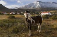 Cheval criollo argentin