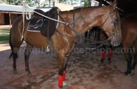 Cheval de polo, Argentine