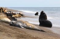 Éléphants de mer, Valdés