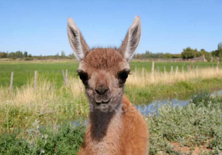 Guanaco, cousin du lama