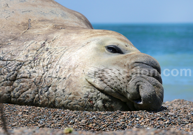 Trompe, éléphant de mer