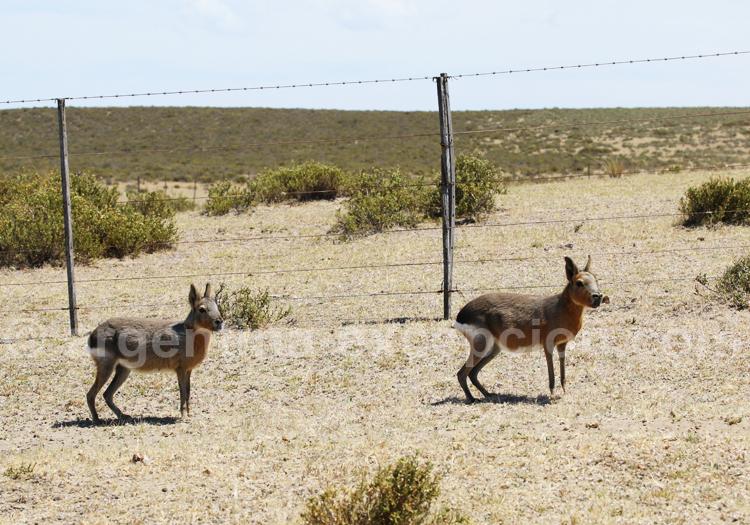 Mara, Rincon Chico, Patagonie