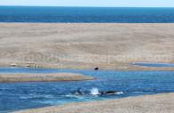 Orques en chasse, Péninsule Valdés