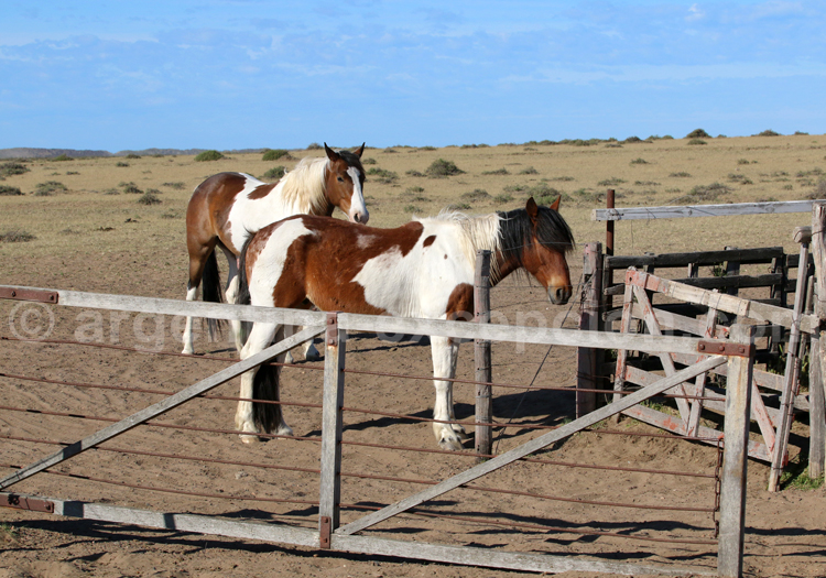 Cheval Criollo, Patagonie Argentine