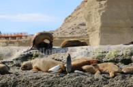 Colonie de lions de mer, Valdes