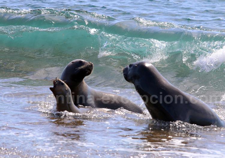 Lions de mer femelles
