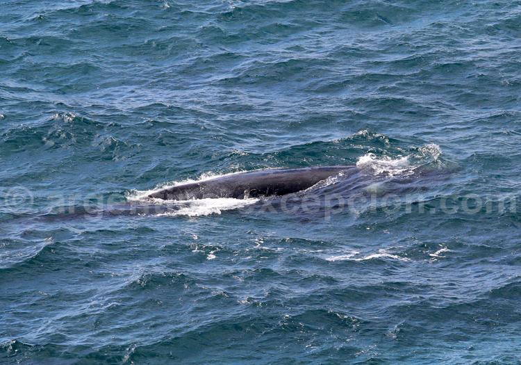 Baleine franche Australe, Patagonie