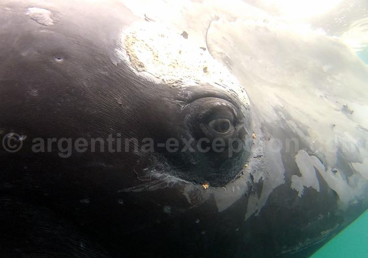Baleine franche, Patagonie Nord