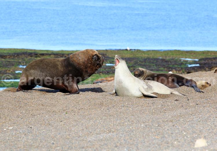 Colonie de lions de mer, Patagonie
