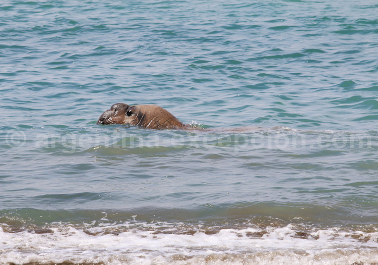 Mâle éléphant de mer, Valdés