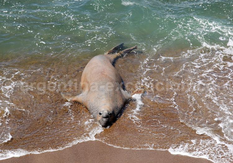 Elefante marino, Rincon Chico