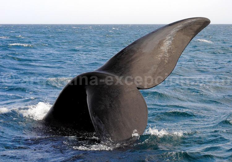 Queue de baleine franche, Argentine