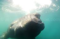 Baleine franche australe, Puerto Piramides
