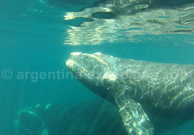 Excursion privée, baleine franche, Valdés