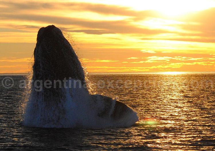 Rencontre de la baleine franche australe