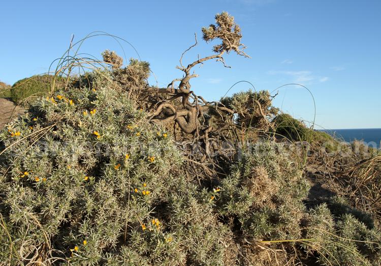Flore de patagonie, Valdés