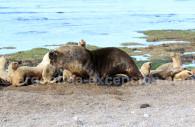Otarie à crinière, Patagonie