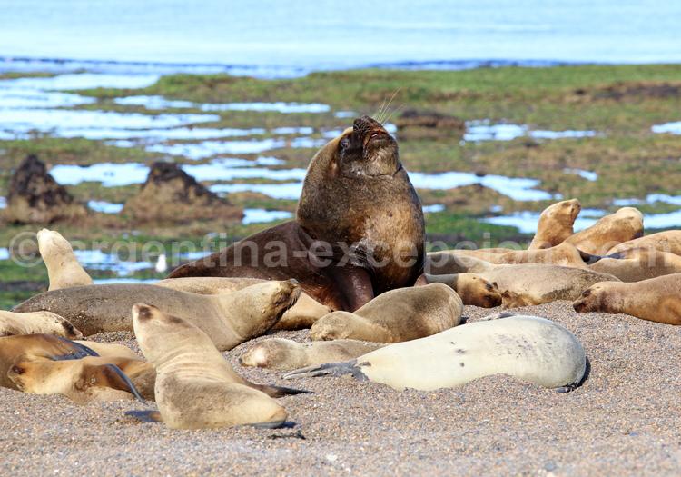 Lion de mer, Punta Norte