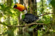 Toucan, Iguazú