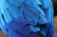 Ara bleu, Iguazu