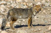 Renard, faune Argentine