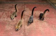 Mammifères de la famille des ratons laveurs