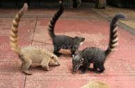 Groupe de coatis